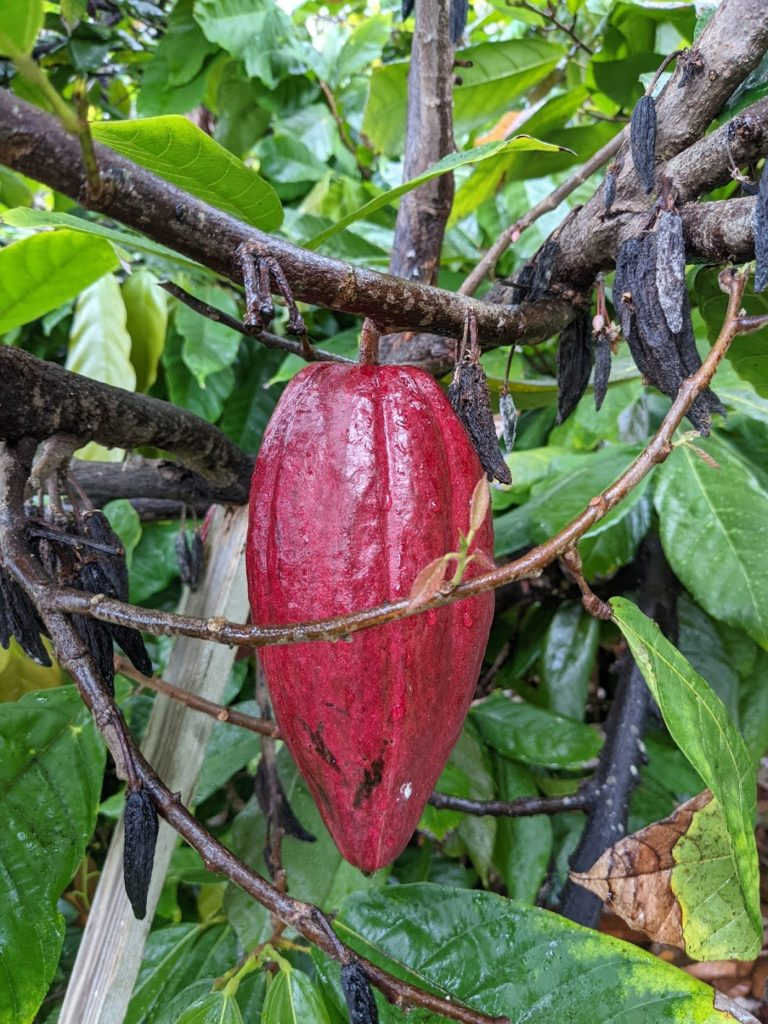 Cacao pod at Original Hawaiian Chocolate Farm Vegan Big Island eats 2021